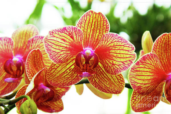 Photograph - Magenta And Yellow Orchids - Close Up Against Blurred Background by Susan Vineyard