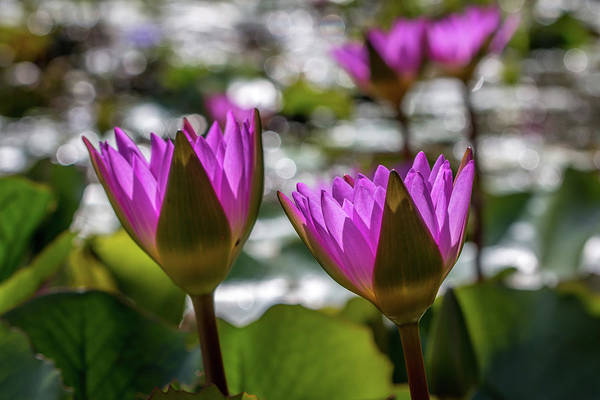 Photograph - Magenta Water Lilies by Susie Weaver