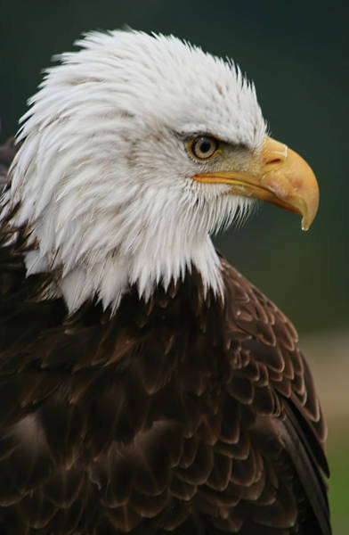 Photograph - Magestic Eagle by Jacqui Boonstra