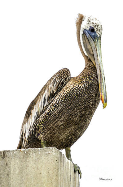Photograph - Majestic Gulf Shores Pelican 1071a by Ricardos Creations