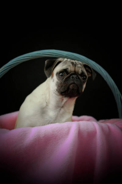 Photograph - Maggie In A Basket by Trish Tritz