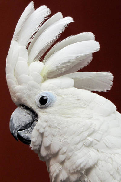 Photograph - Maggie The Umbrella Cockatoo by Bob Slitzan