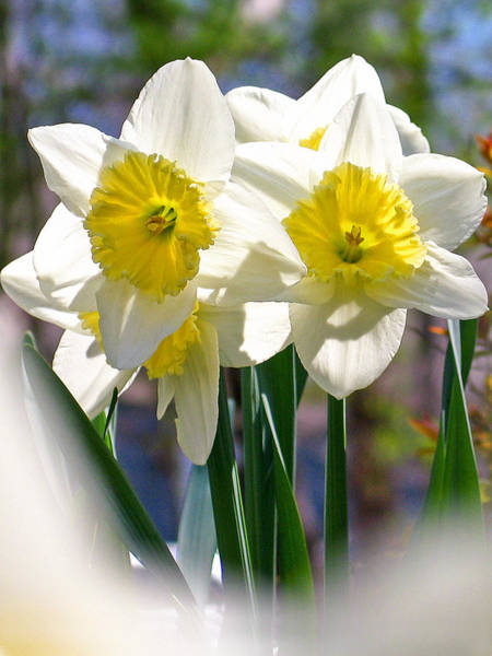 Photograph - Magic Daffodils  by Rick Locke
