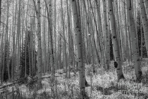 Photograph - Magical Aspen Trees In Fall Bw  by Michael Ver Sprill