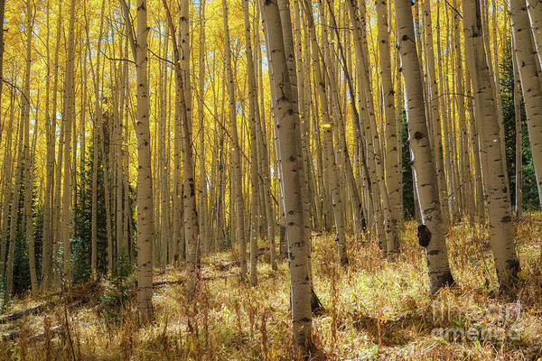 Photograph - Magical Aspen Trees In Fall  by Michael Ver Sprill