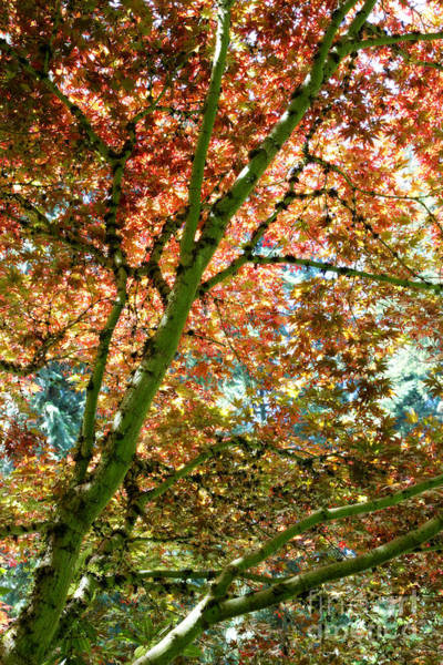 Photograph - Magical Japanese Maple Leaves by Carol Groenen