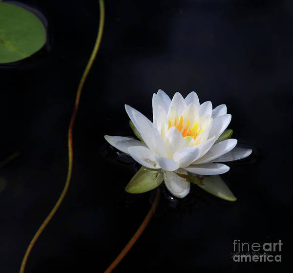Photograph - Magical Water Lily by Michelle Constantine