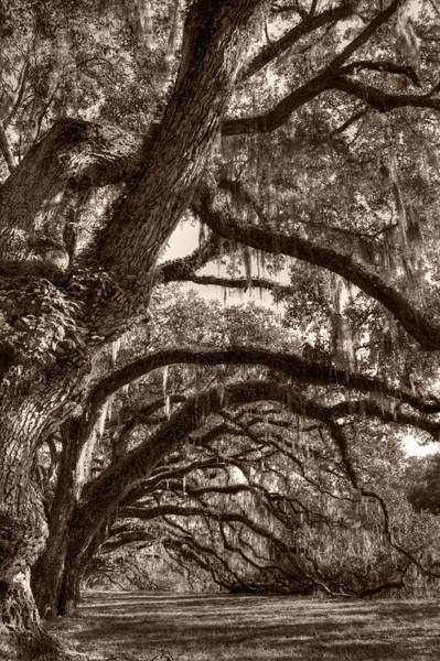 Photograph - Magnificant Live Oak Trees  by Dustin K Ryan
