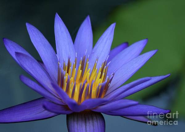 Photograph - Magnificant Water Lily by Sabrina L Ryan