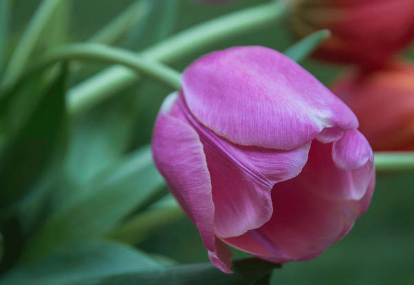 Photograph - Magnificent Magenta by Arlene Carmel