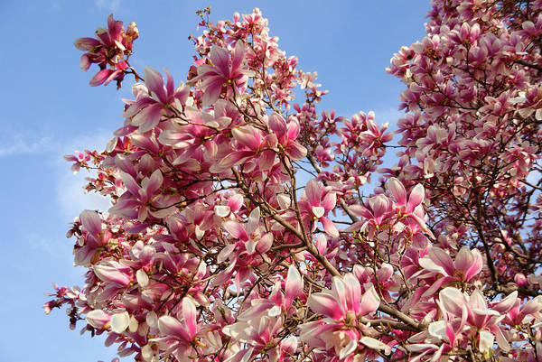 Photograph - Magnificent Magnolia  by Cate Franklyn