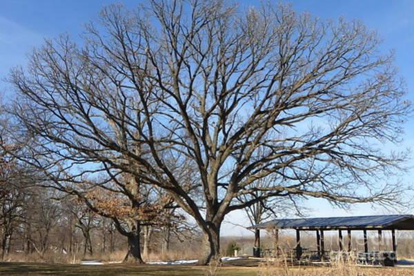 Photograph - Magnificent Oak by Kathie Chicoine