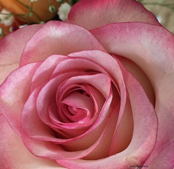 Photograph - Magnificent Rose by Marian Palucci-Lonzetta