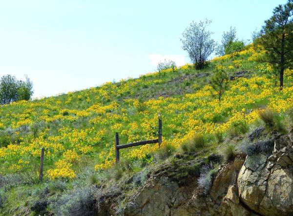 Wall Art - Photograph - Magnificent Sunflowers 3 by Will Borden