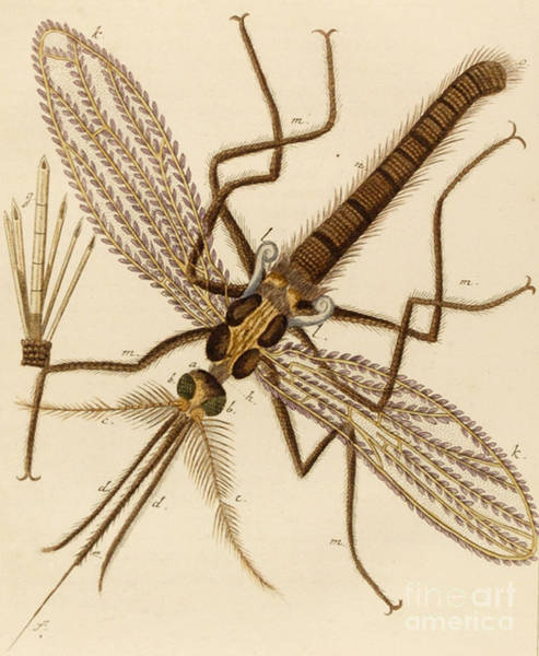 Close Up Drawing - Magnified Mosquito by German School
