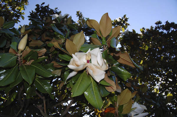 Wall Art - Photograph - Magnolia by Amber Flowers