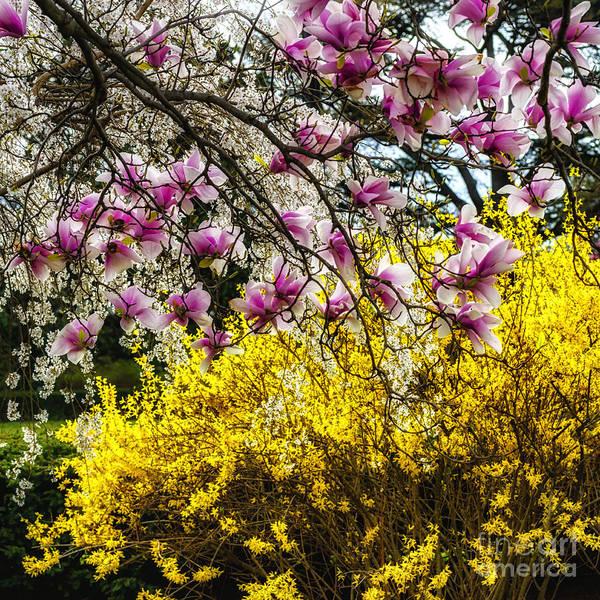 Photograph - Magnolia And Forsythia by Thomas R Fletcher