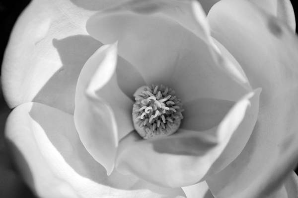 Photograph - Magnolia Black And White by Jill Reger