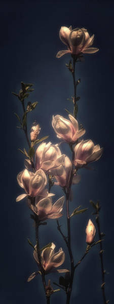 Wall Art - Photograph - Magnolia Blossom by Hans Zimmer