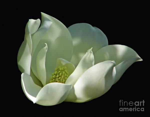 Photograph - Magnolia Blossom On Black by D Hackett