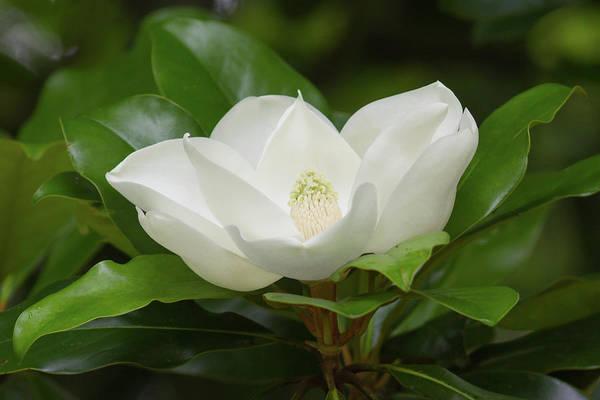 Photograph - Magnolia Blossom by Paul Rebmann