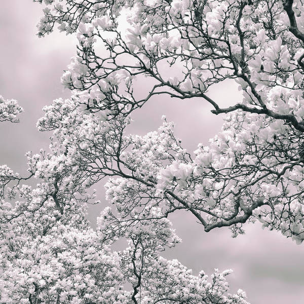 Photograph - Magnolia Blush by Jessica Jenney