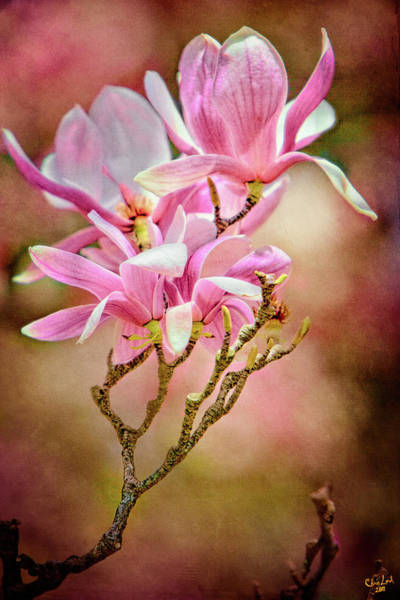 Photograph - Magnolia Branch by Chris Lord