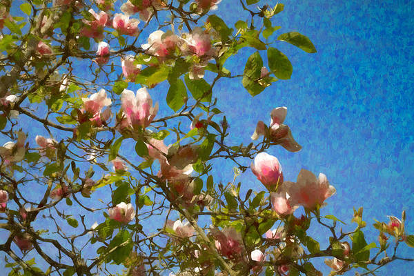 Photograph - Magnolia Branches With Blue Sky by Bonnie Follett