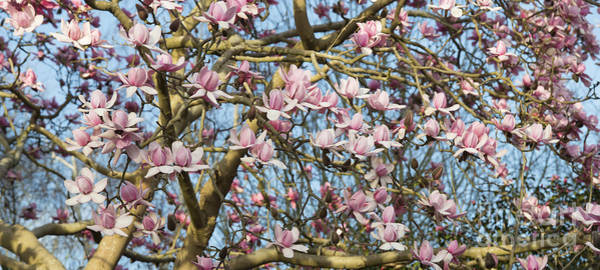 Photograph - Magnolia Campbellii Flowers Panoramic by Tim Gainey