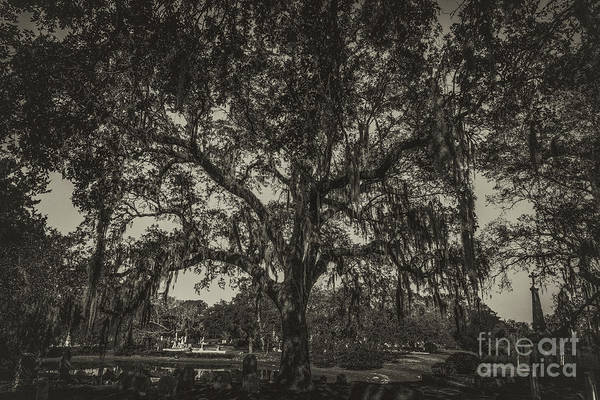 Photograph - Magnolia Cemetery Live Oak Tree In Sepia by Dale Powell