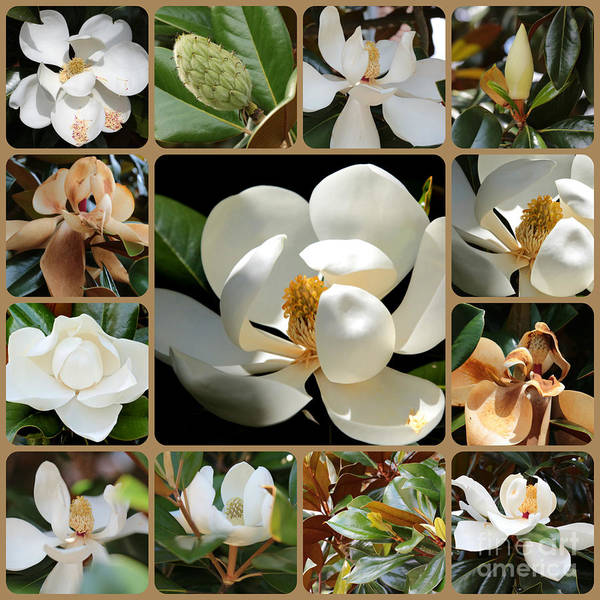 Photograph - Magnolia Collage by Carol Groenen
