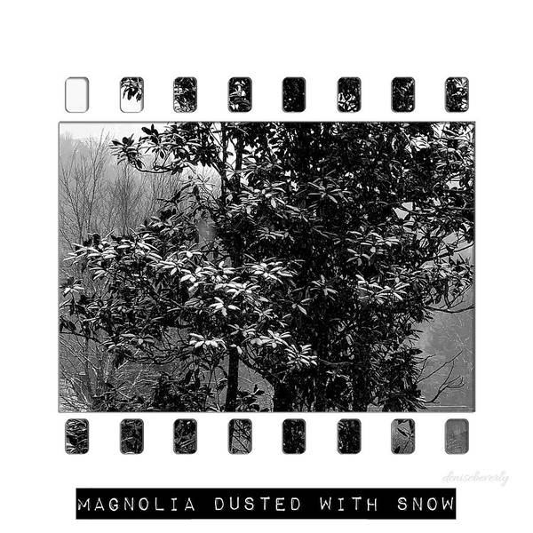Photograph - Magnolia Dusted With Snow by Denise Beverly