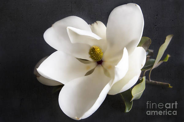 Wall Art - Photograph - Magnolia Flower by Elena Nosyreva