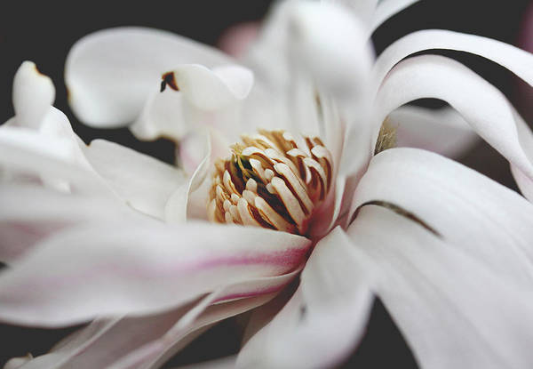 Photograph - Magnolia Flower by Trina Ansel