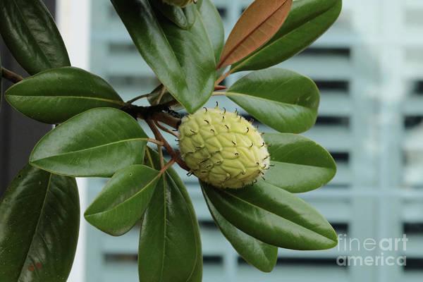 Wall Art - Photograph - Magnolia Fruit With Window by Carol Groenen