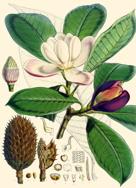 Wall Art - Painting - Magnolia Hodgsonii by Joseph Dalton Hooker
