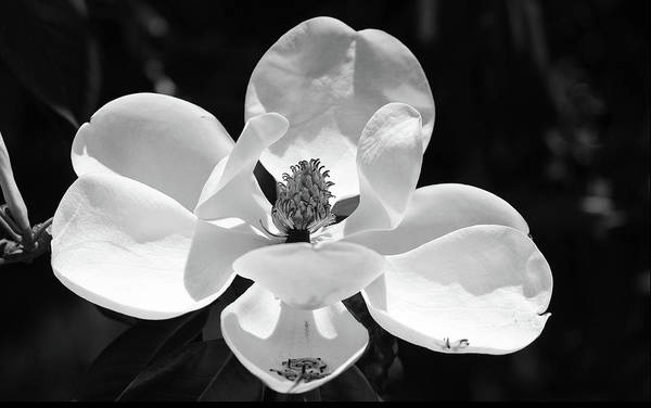 Photograph - Magnolia In Black And White by Cynthia Guinn
