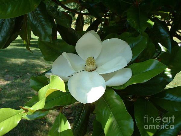 Photograph - Magnolia In Bloom by Tammie J Jordan