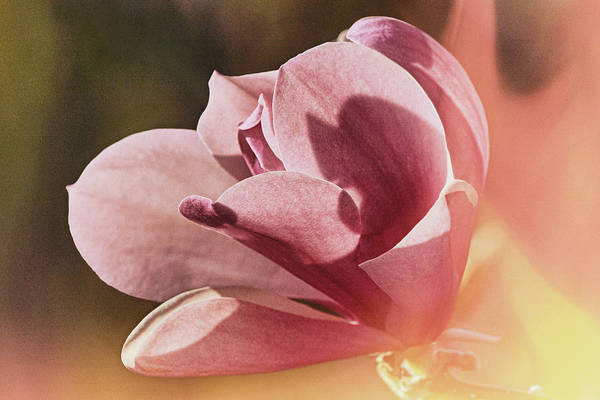 Photograph - Magnolia In The Morning Flare by Theo O'Connor