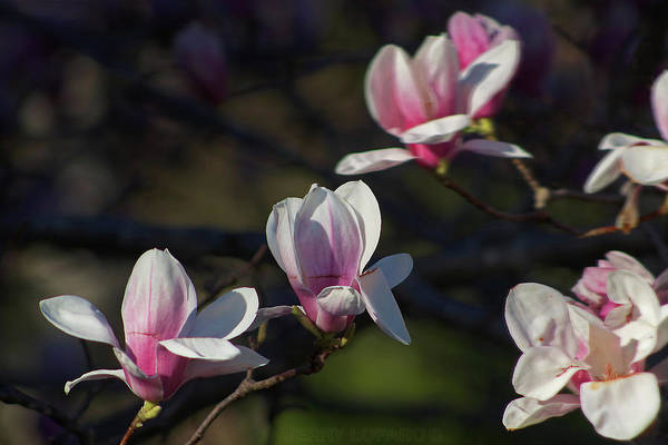 Blooms Digital Art - Magnolia by Jerry LoFaro