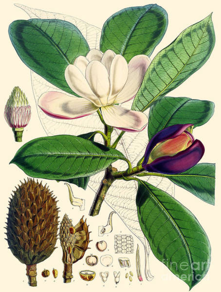 Wall Art - Painting - Magnolia by Joseph Dalton Hooker