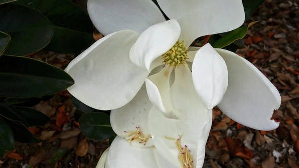 Photograph - Magnolia by Matthew Bamberg