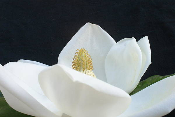 Photograph - Magnolia by Nancy Ingersoll