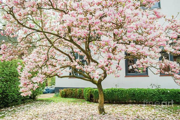 Photograph - Magnolia Pink Splendor by Marina Usmanskaya