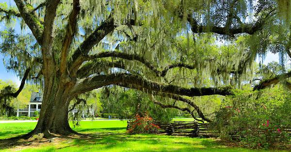 Photograph - Magnolia Plantation Oak Tree And Lawn - Charleston Sc by Donnie Whitaker