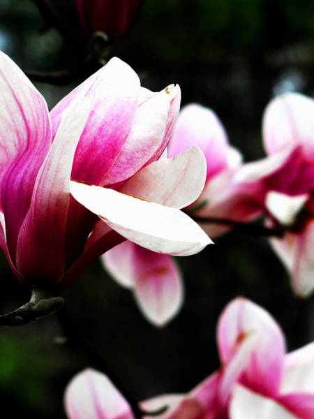 Photograph - Magnolia by Scott Hovind
