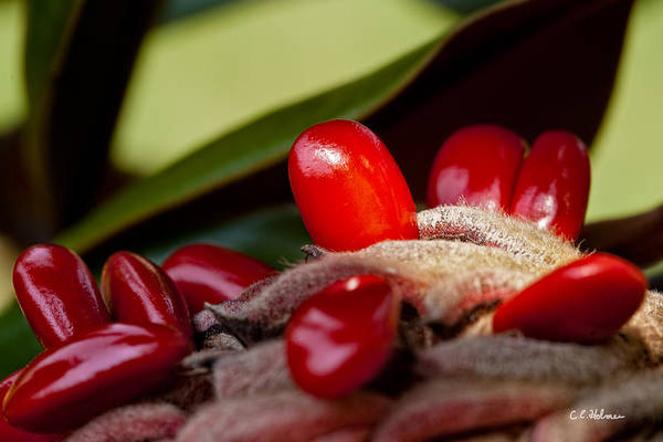 Photograph - Magnolia Seeds by Christopher Holmes