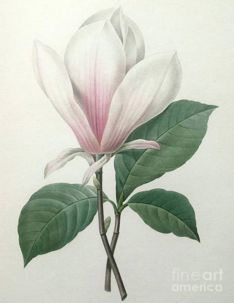 Wall Art - Painting - Magnolia Soulangiana by Pierre Joseph Redoute