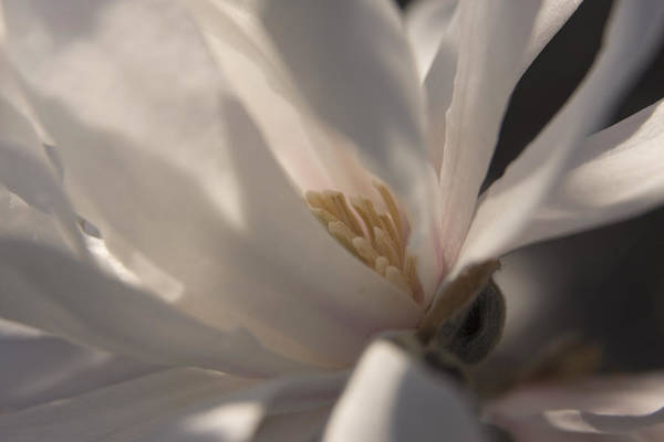 Photograph - Magnolia Stellata IIi by Margaret Denny