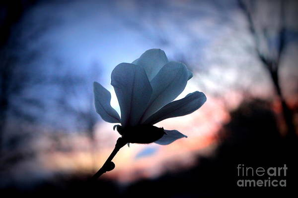 Wall Art - Photograph - Magnolia Sunset by Hanni Stoklosa